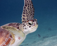 Turtle Face - Green Turtle