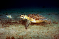 Stand Off - Green Turtle and Smooth Trunkfish