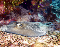 Southern Sting Ray at Snapper Reef